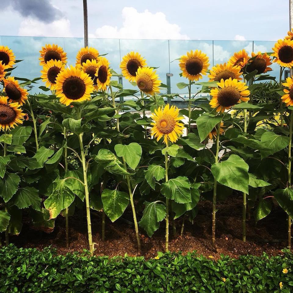 樟宜机场全新向日葵花园开放参观-热点新加坡